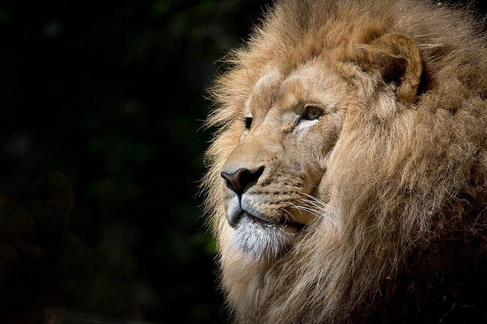 lion_blackBG